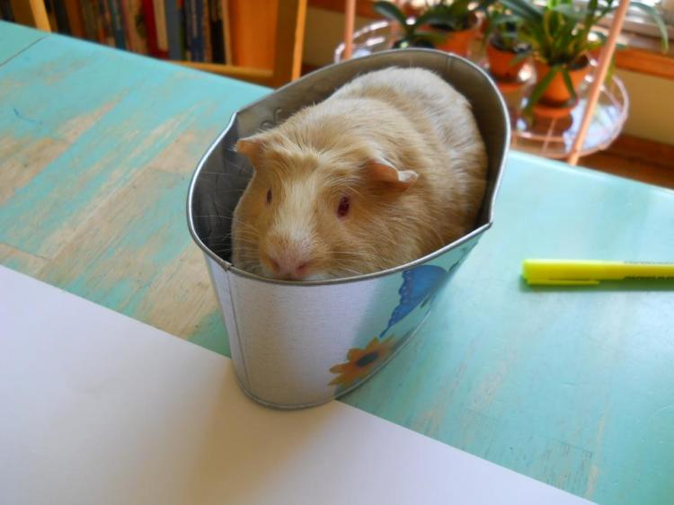 guinea pig in a tin
