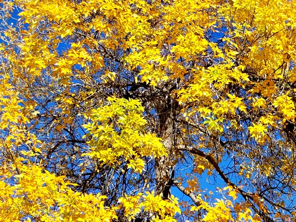 Glorious yellow leaves are a highlight of the Fall